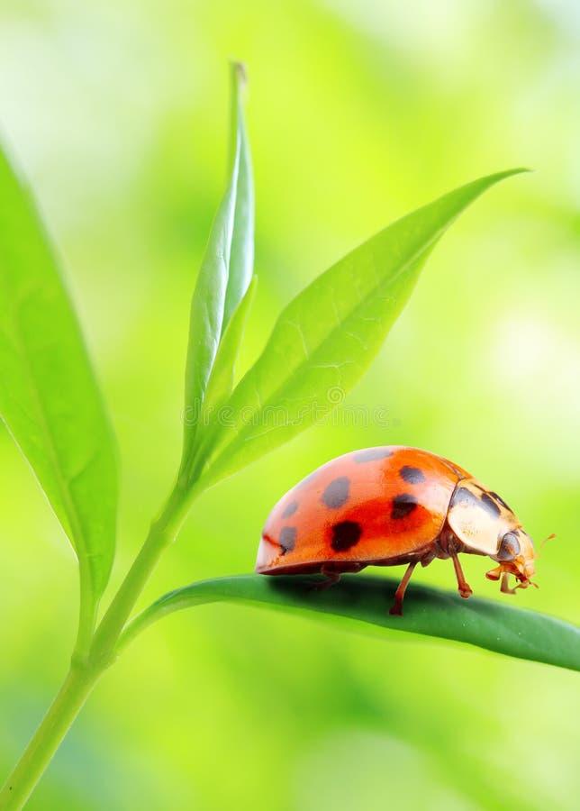 Ladybug na folha verde fresca. imagem de stock
