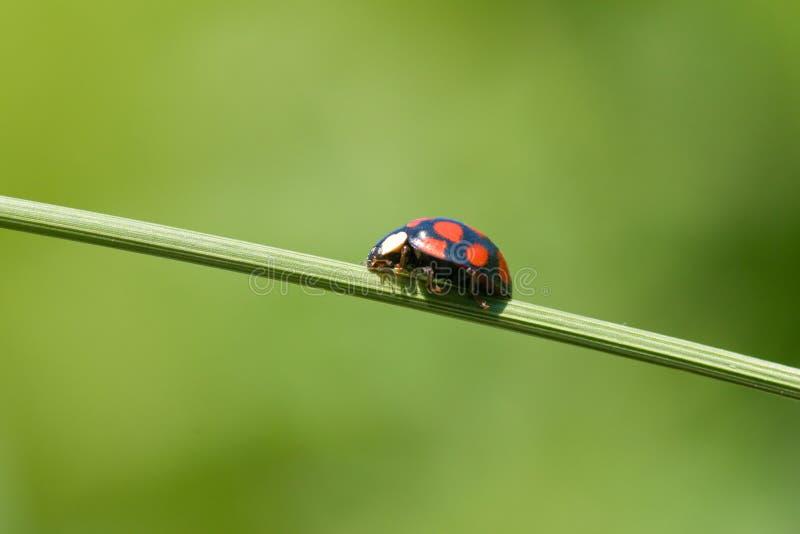 Ladybug na haste da grama imagem de stock