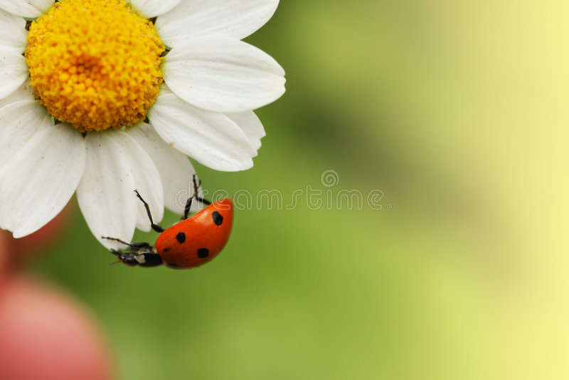 Ladybug na margarida fotos de stock royalty free