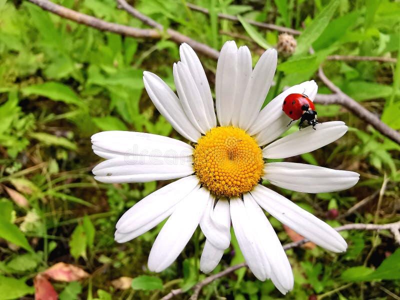 Ladybug na margarida imagens de stock royalty free