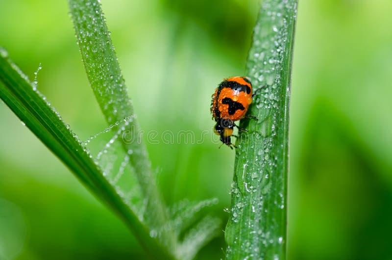 Ladybug na natureza verde imagem de stock