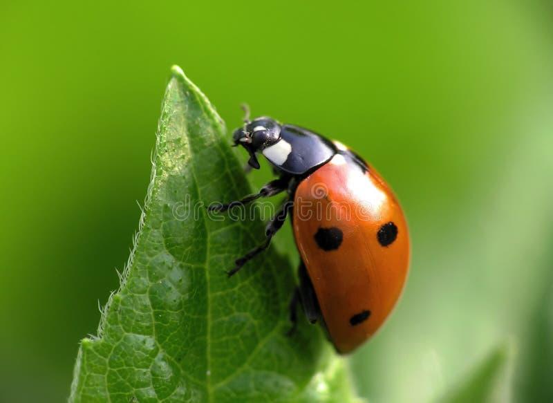 Ladybug na parte superior imagem de stock royalty free