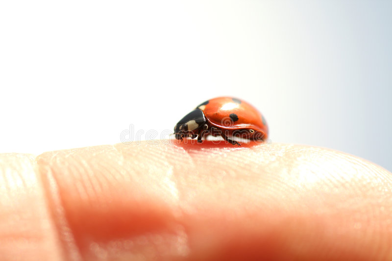 Ladybug no dedo foto de stock
