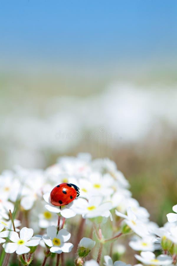 Free Ladybug On Flower Royalty Free Stock Photos - 14694568