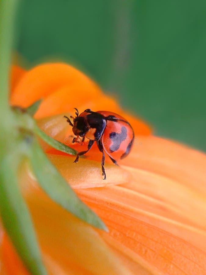 Ladybug op de bloem royalty-vrije stock foto's