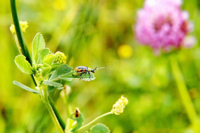 Ladybug op een blad stock foto's
