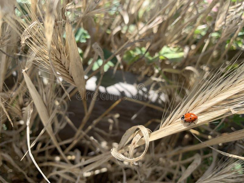 Ladybug op een plant royalty-vrije stock afbeelding