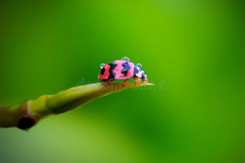 Ladybug op groene stam stock fotografie