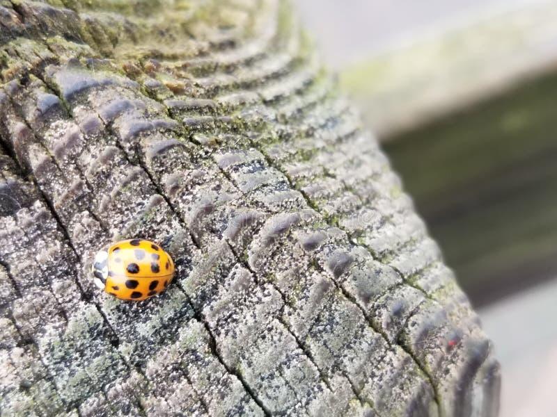 Ladybug op het dok stock afbeelding