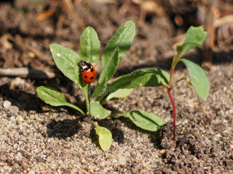 Ladybug op het gras royalty-vrije stock afbeelding