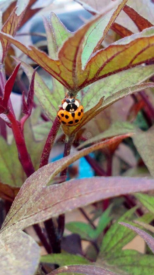 Ladybug Orange in Perú royalty free stock image