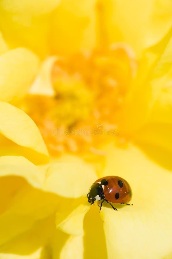 Ladybug on Ornamental rose. Ladybug, ladybird, on yellow ornamental rose, Adalia septempunctata royalty free stock photo