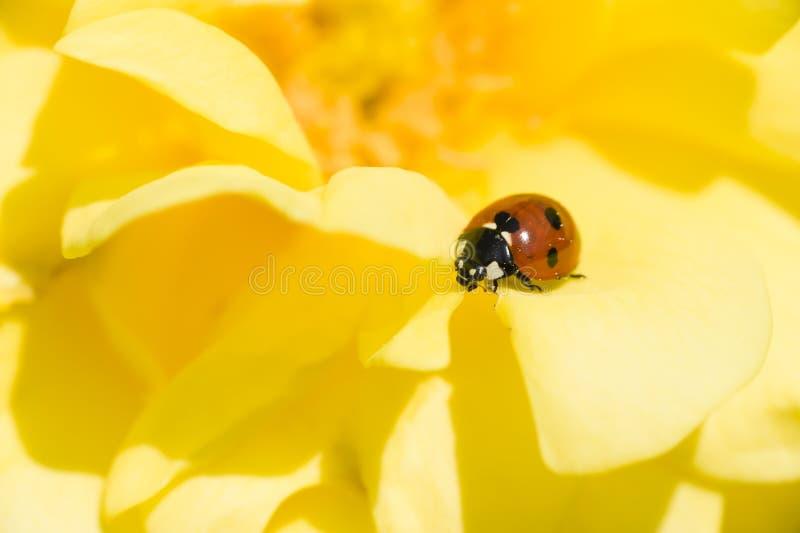 Ladybug on Ornamental rose. Ladybug, ladybird, on yellow ornamental rose, Adalia septempunctata royalty free stock photos