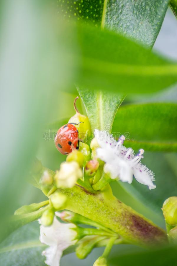 Ladybug over a leaf royalty free stock photo