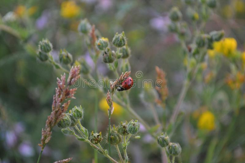 Ladybug pequeno fotografia de stock royalty free