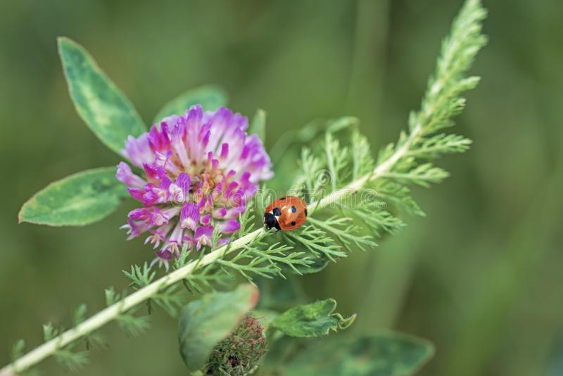 Ladybug on pink clover. Spring abstract photo stock photos