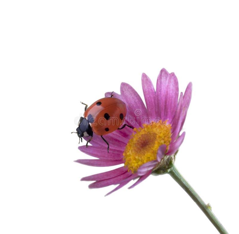 Download Ladybug On Pink Flower Stock Images - Image: 13960304