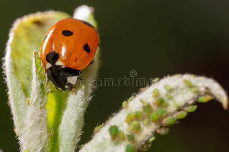 Ladybug on a plant in nature royalty free stock photo