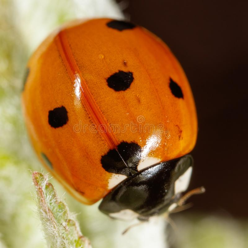 Ladybug on a plant in nature royalty free stock images
