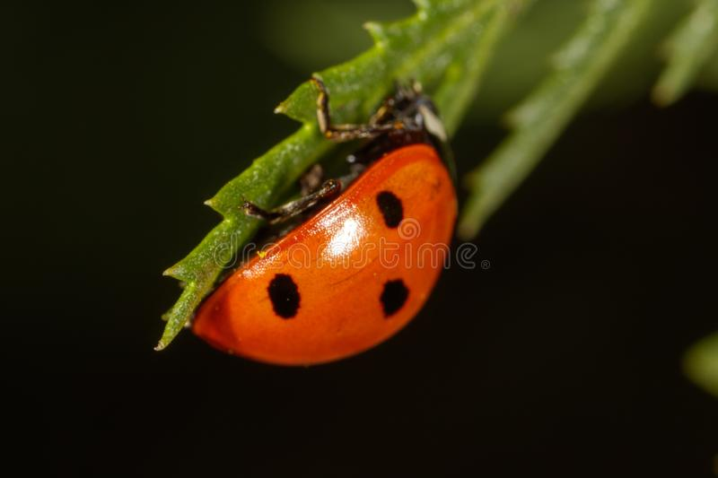Ladybug on a plant in nature royalty free stock photos