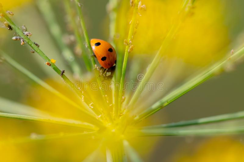 Ladybug on a plant in the summer stock images