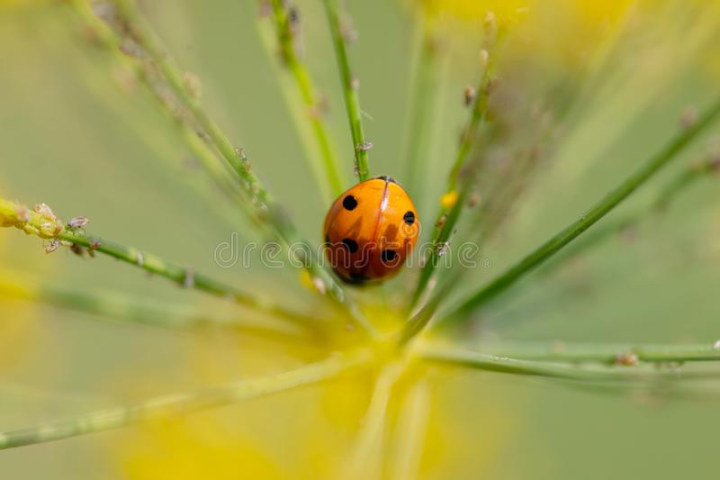 Ladybug on a plant in the summer royalty free stock images