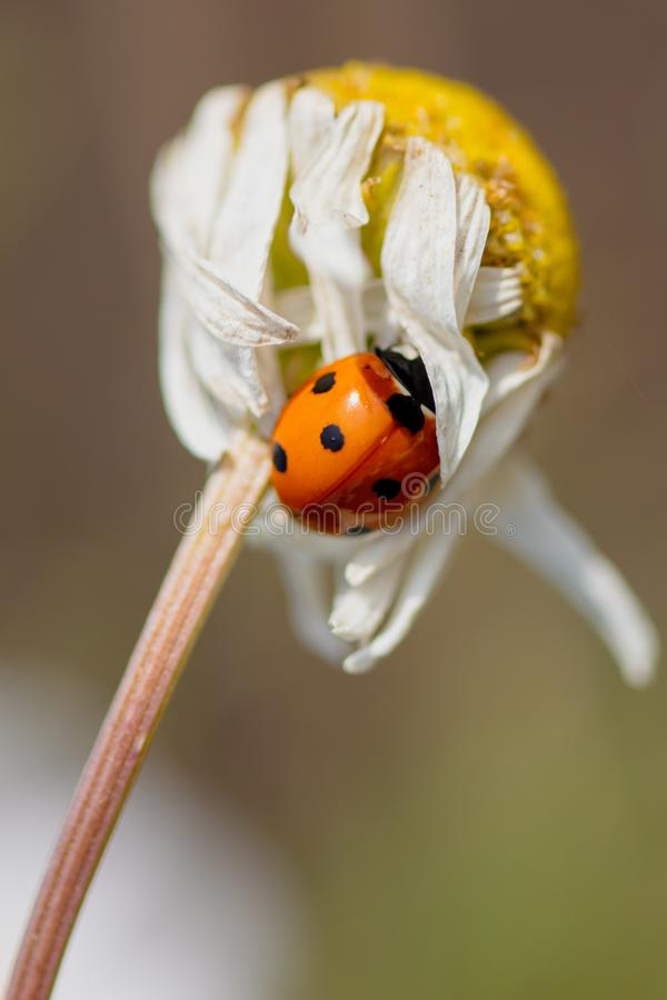 Ladybug on a plant in the summer royalty free stock image
