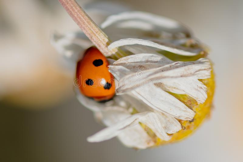 Ladybug on a plant in the summer royalty free stock photo