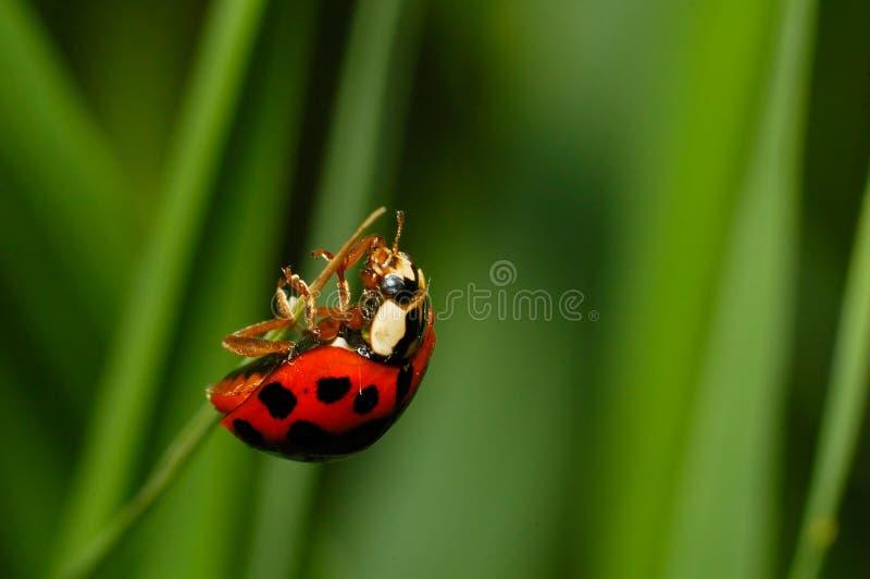Ladybug quasi alla parte superiore fotografie stock