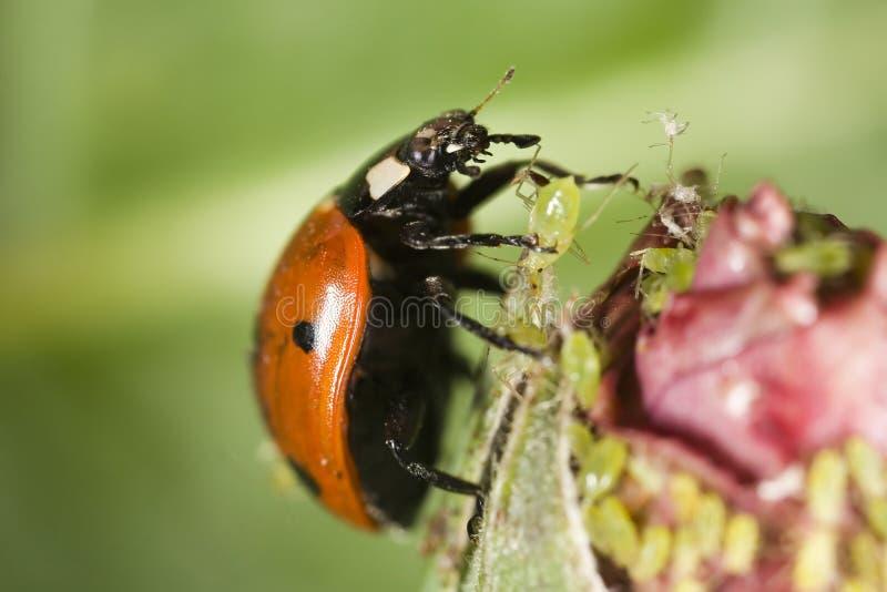 Ladybug que pegara um afídio imagem de stock royalty free