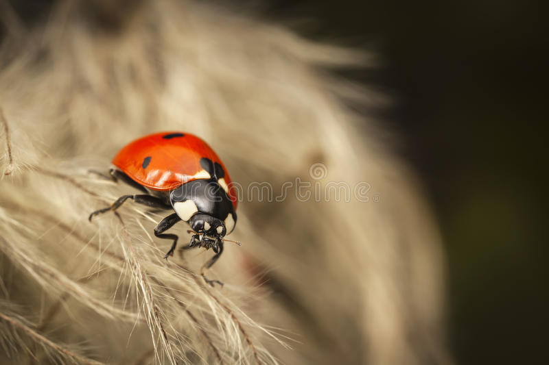 Ladybug resting on the flowers. In the garden royalty free stock photo
