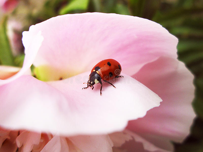Ladybug resting on pione. After the rain n stock image
