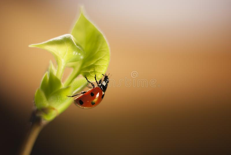 Ladybug rises on a branch of lilac with young leaves on a gradient brown background royalty free stock photography