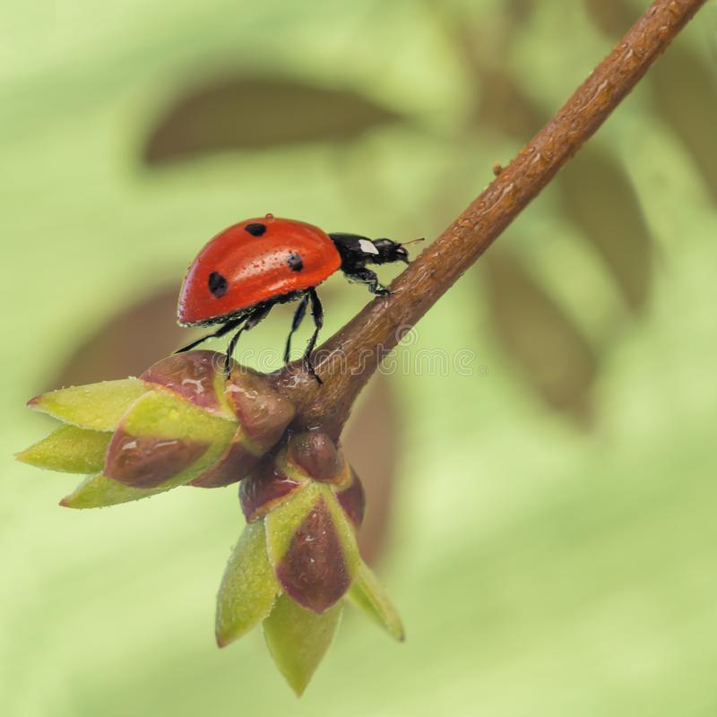 Ladybug rises up a twig with sprouted young leaves on a green background stock image