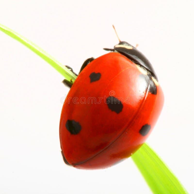 Ladybug rojo fotos de archivo libres de regalías