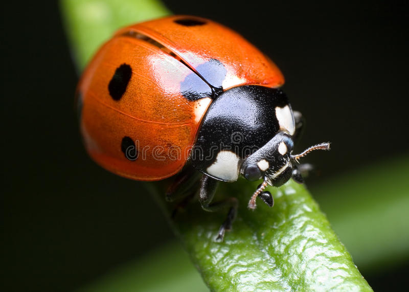 Ladybug on rosemary stock photos