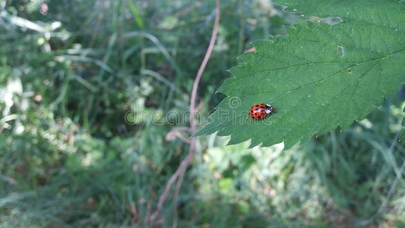 A ladybug runs on a leaf stock photography