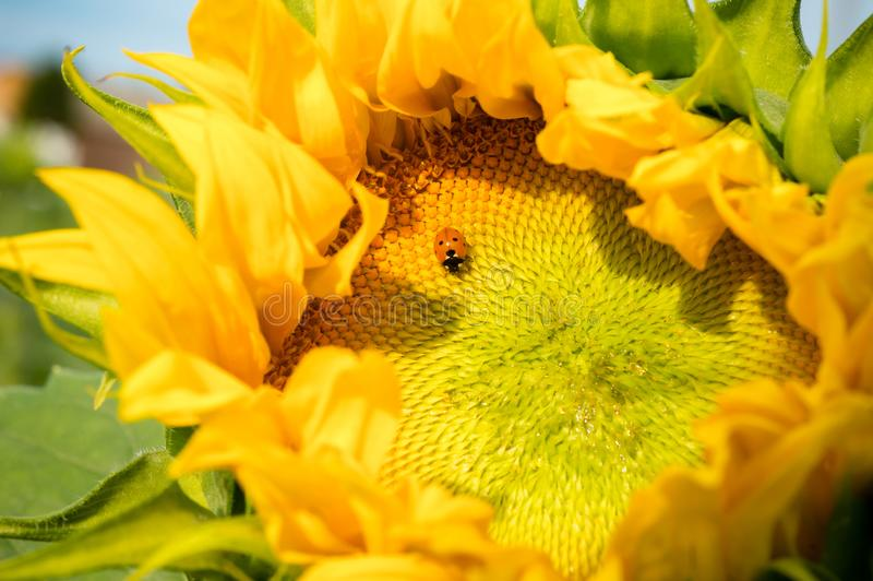 Ladybug sits on beautiful half opened sunflower head with golden royalty free stock image