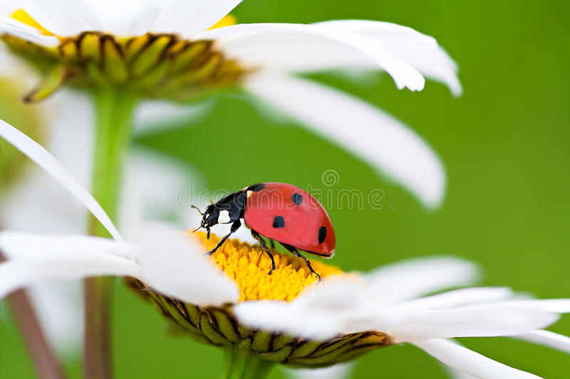 Ladybug sits on a chamomile flower royalty free stock photography