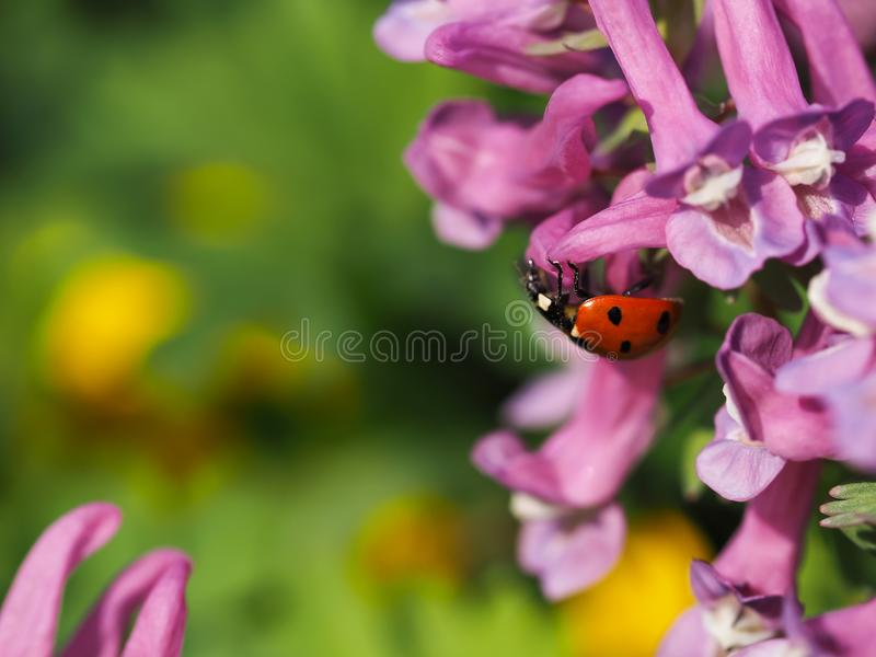 Ladybug sits on a flower. Close-up of ladybug. stock photography