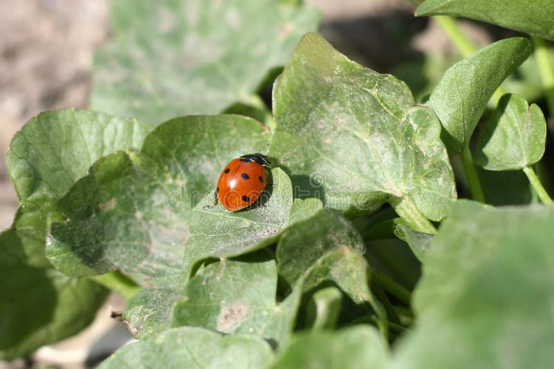 Ladybug sitting on a flower leaf warm spring day on a leaf insect beetle royalty free stock photography