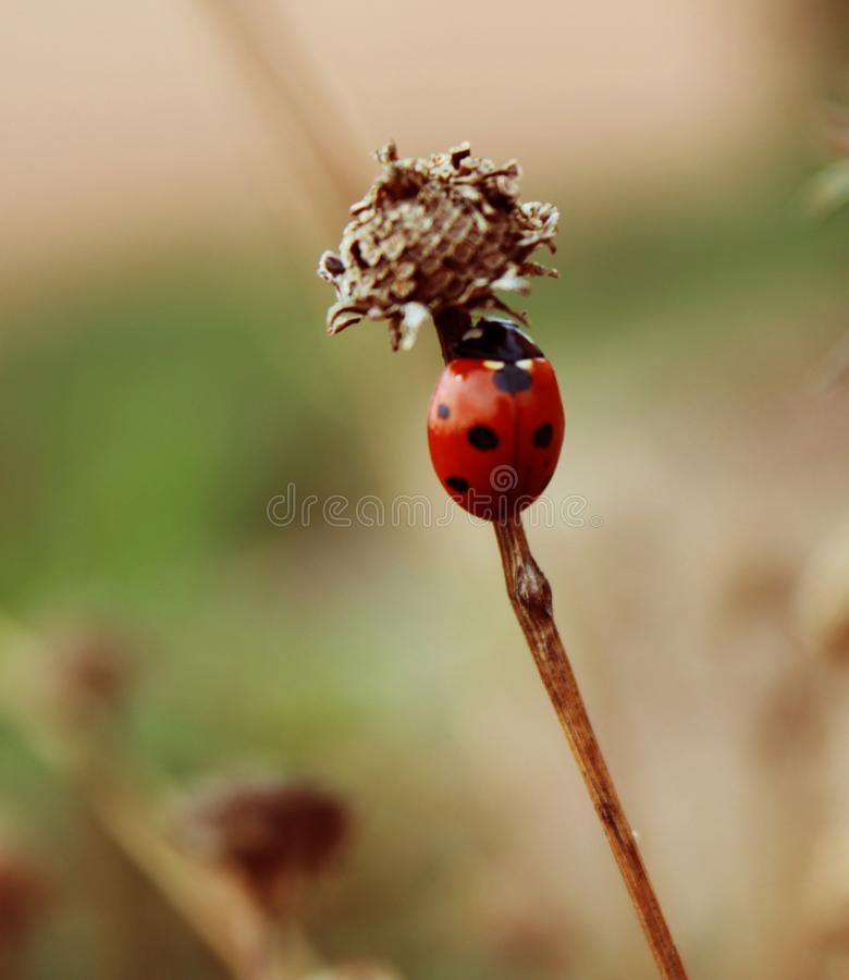 Ladybug sitting on the grass insect stock image