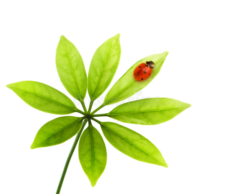 Ladybug sitting on a green leaf royalty free stock images