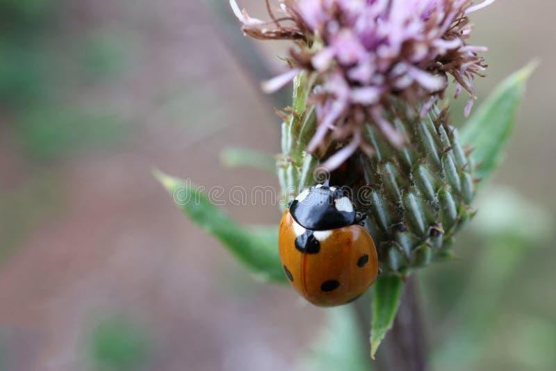 Ladybug sitting on the thistle flower. Nature, beetle, outdoors, macro, plant, wildlife, meadow, animal, beauty royalty free stock photography