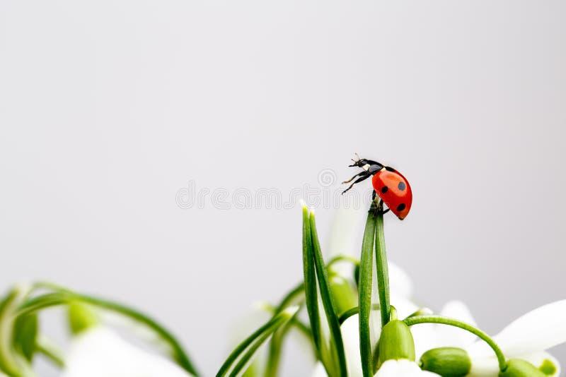 Ladybug on Snowdrop Flowers stock photography
