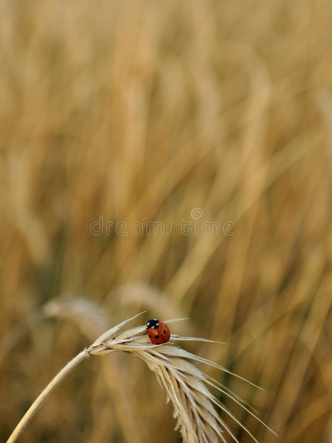 Ladybug on a spike in summer. Ladybug on a spike in a wheat field in summer. Agriculture and Farming Collection royalty free stock photo