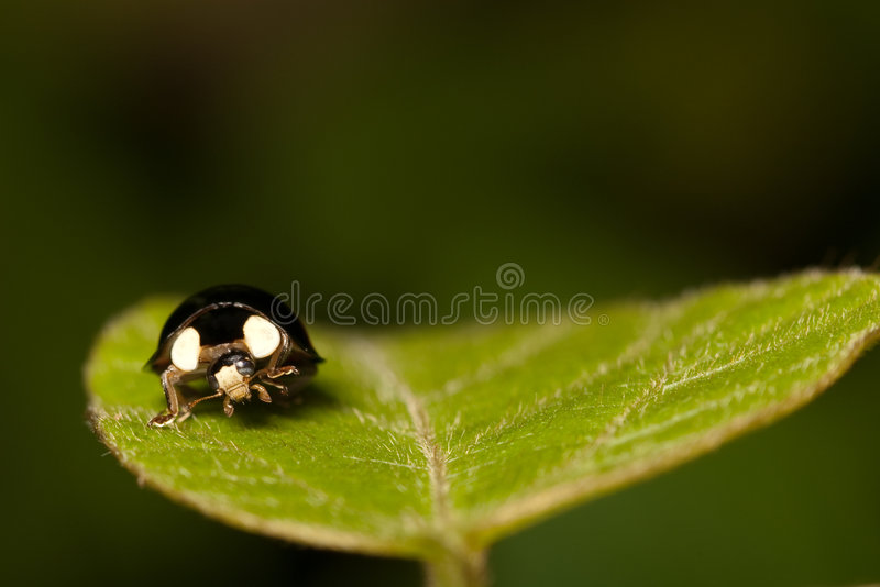 Ladybug stand on green leaf. Isolate with black background stock photography