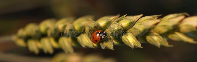 Ladybug su frumento immagine stock