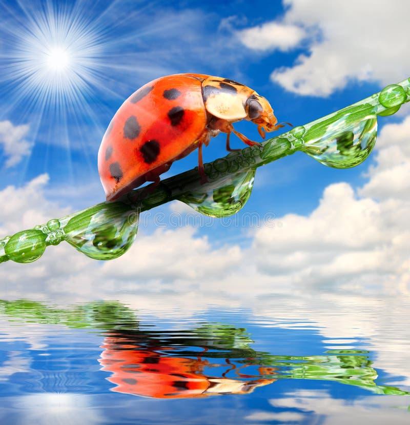 Ladybug su un'erba dewy. fotografia stock