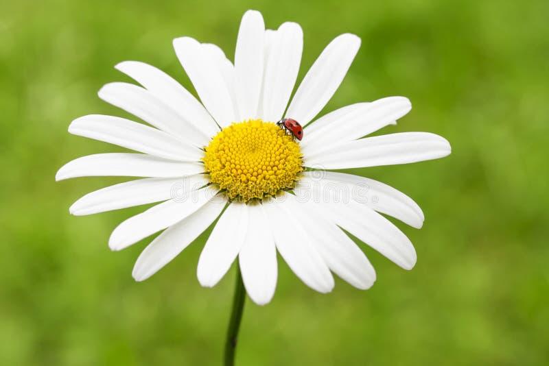 Ladybug su una pratolina fotografie stock